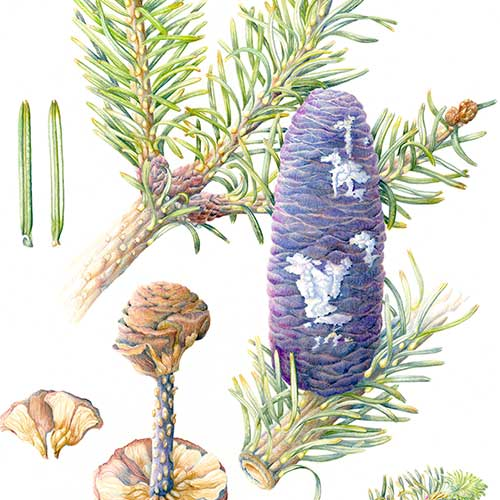 Abies spectabilis by Pearl Bostock